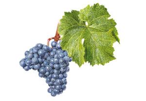 Cabernet Moravia © Národní vinařské centrum, o.p.s.