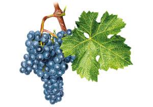 Cabernet Sauvignon © Národní vinařské centrum, o.p.s.