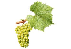 Chardonnay © Národní vinařské centrum, o.p.s.