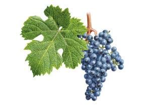 Dornfelder © Národní vinařské centrum, o.p.s.