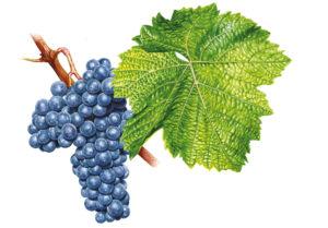 Modrý Portugal/Blauer Portugieser © Národní vinařské centrum, o.p.s.