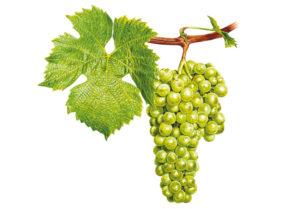 Müller Thurgau/Rivaner - © Národní vinařské centrum, o.p.s.