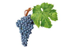 Merlot © Národní vinařské centrum, o.p.s.