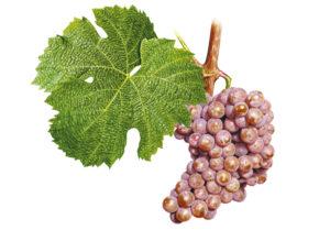 Pálava © Národní vinařské centrum, o.p.s.