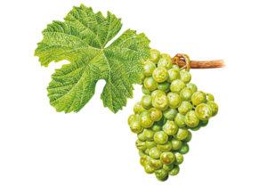 Rulandské bílé/Pinot blanc © Národní vinařské centrum, o.p.s.