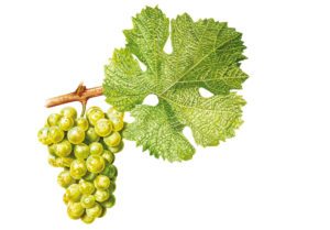 Ryzlink rýnský/Riesling - © Národní vinařské centrum, o.p.s.