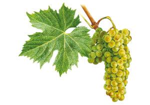 Ryzlink vlašský/Welschriesling - © Národní vinařské centrum, o.p.s.
