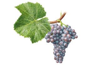 Rulandské šedé/Pinot gris - © Národní vinařské centrum, o.p.s.