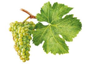 Sauvignon/Sauvignon blanc - © Národní vinařské centrum, o.p.s.