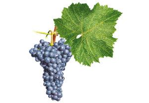 Svatovavřinecké/Saint Laurent © Národní vinařské centrum, o.p.s.
