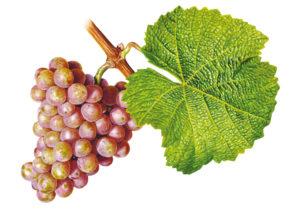 Tramín červený/Gewürztraminer © Národní vinařské centrum, o.p.s.