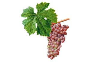 Veltlínské červené rané/Malvasia © Národní vinařské centrum, o.p.s.