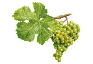 Veltlínské zelené/Grüner Veltliner © Národní vinařské centrum, o.p.s.