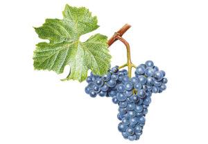 Zweigeltrebe © Národní vinařské centrum, o.p.s.