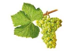 Sylvánské zelené/Grüner Silvaner © Národní vinařské centrum, o.p.s.